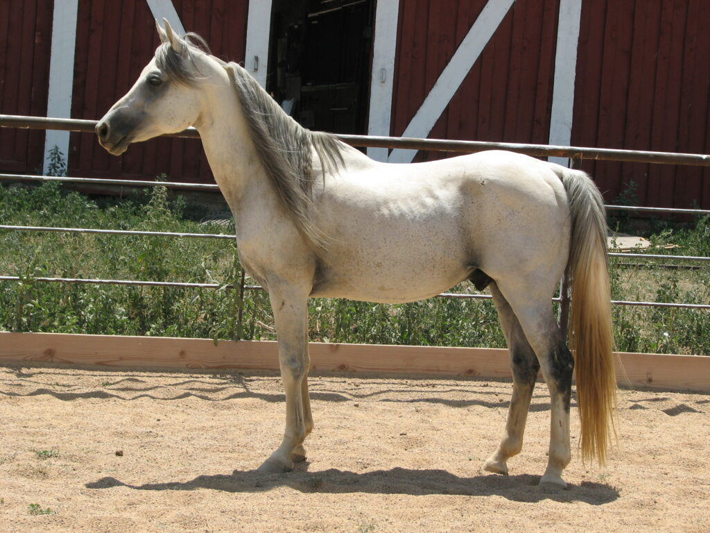 highmarks-arabian-stallion-03