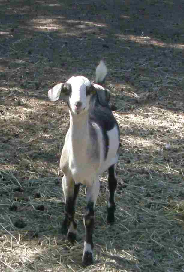 Baby-Goat-Pan-Aug-2011