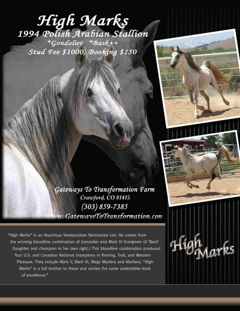 High Marks Breeding Stallion Polish Arabian Purebred